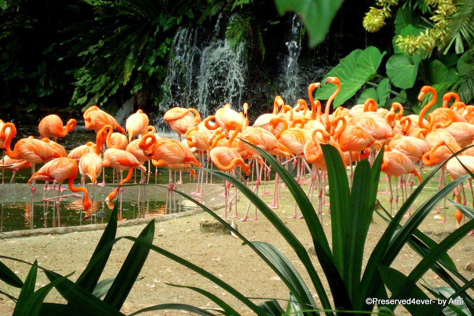Gorgeous Flamingos against water and greens. Another attraction of Singapore for Kids