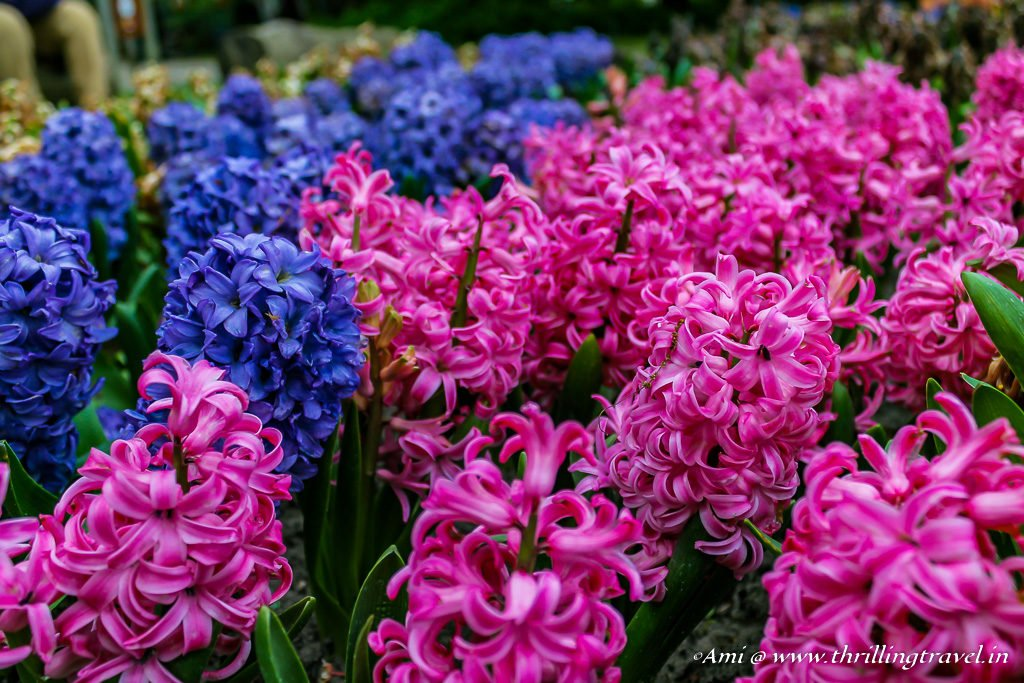 Hyacinths in Blues and Pinks at Keukenhof