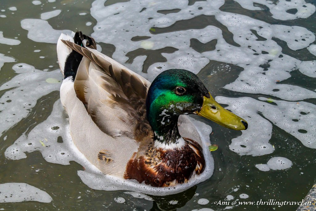 Mallards floating around at Keukenhof