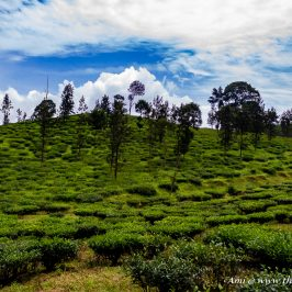 Tea Gardens of Wayanad