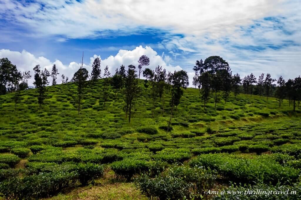 Tea Gardens of Wayanad