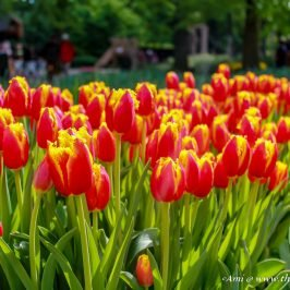 Tulips Extravaganza at Keukenhof