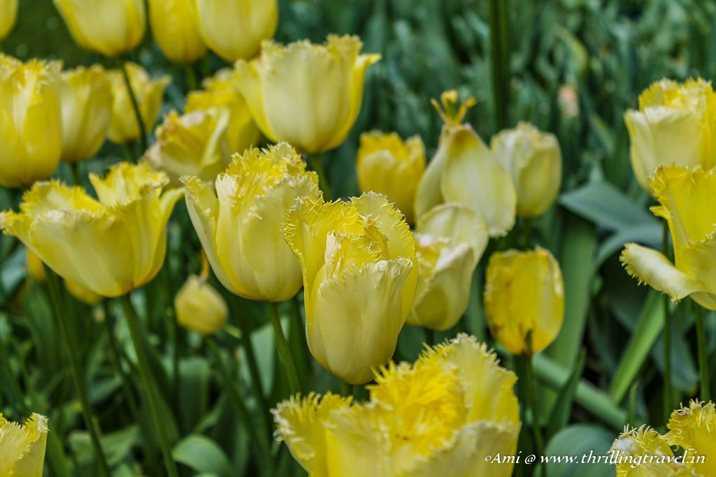 Yellow tulips in Keukenhof, Netherlands