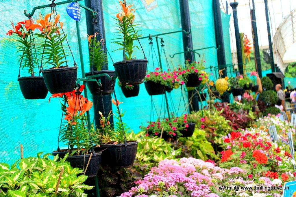 Rows of potted beauties along the Glass house in Lalbagh