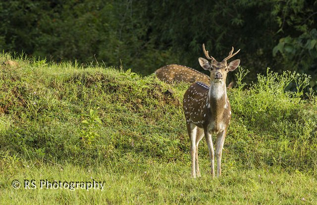 Spotted Deer in Masinagudi Image Credits: Suresh Kumar R Under CC by NC-ND-2.0