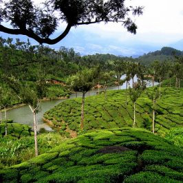 Tea Gardens of Munnar, Hill station of India