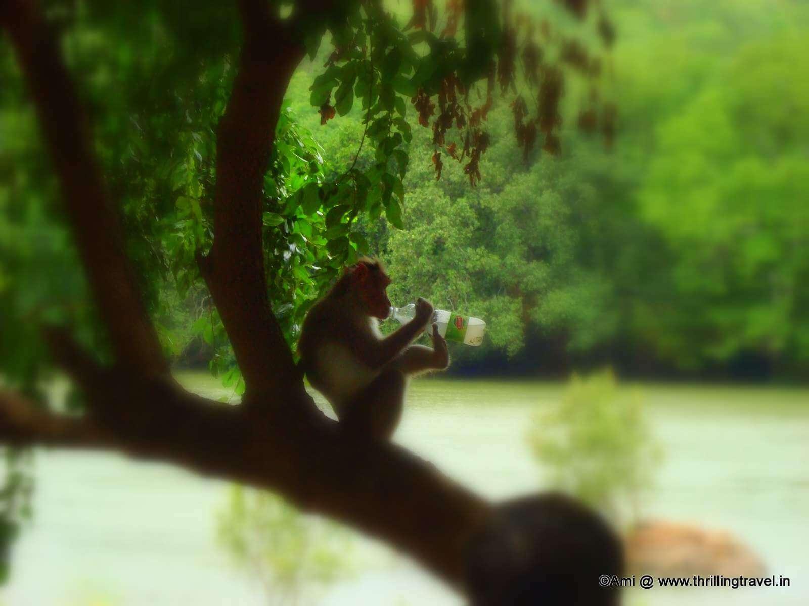 Monkey at Bheemeshwari Fishing Camp