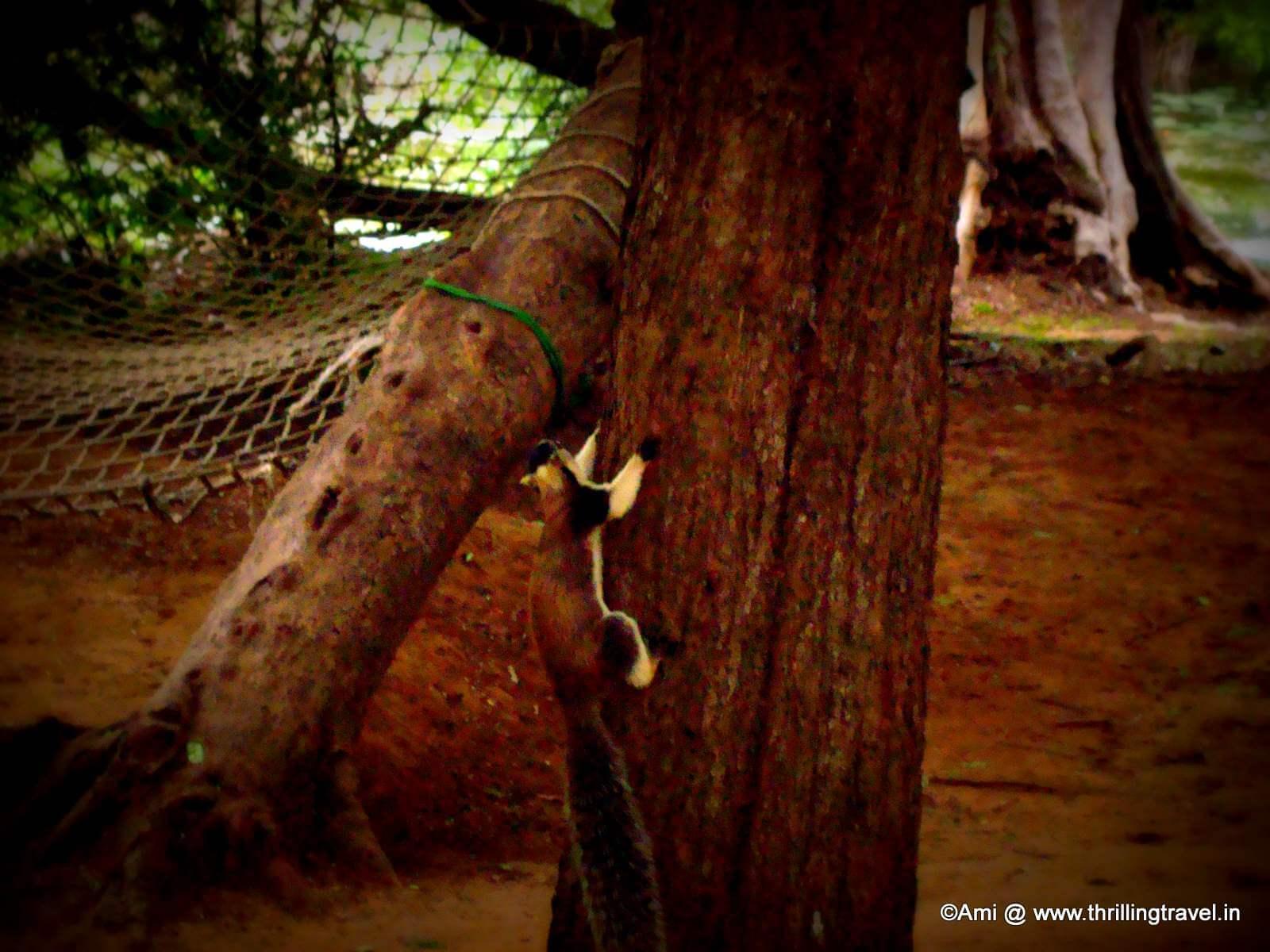 Giant Squirrel at the Bheemeshwari Fishing Camp