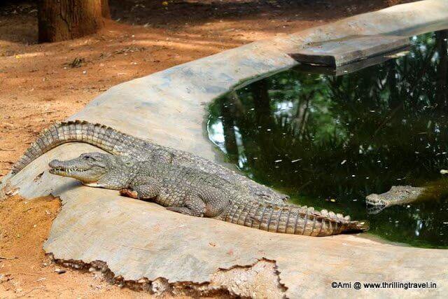 Crocodiles at Horsley Hills