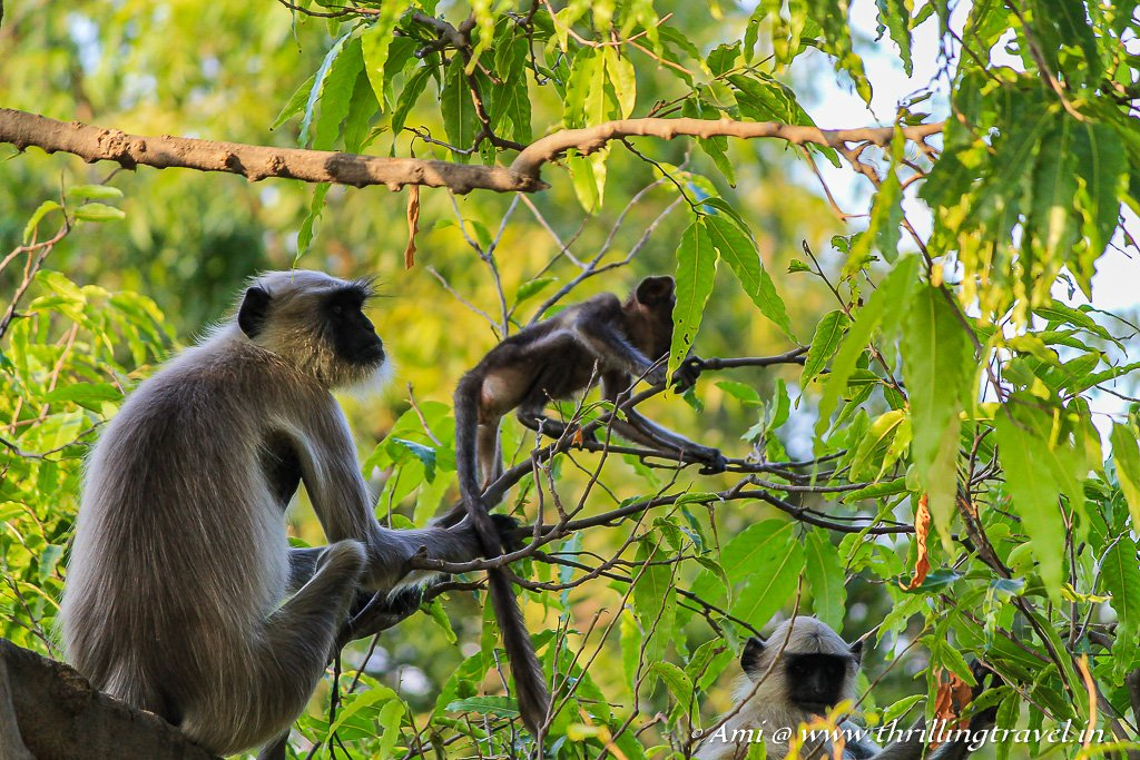Monkeys of Mandore