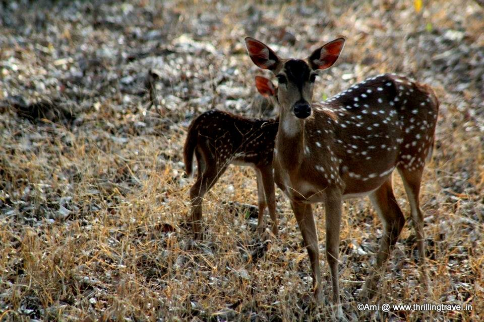 Deer at Kabini