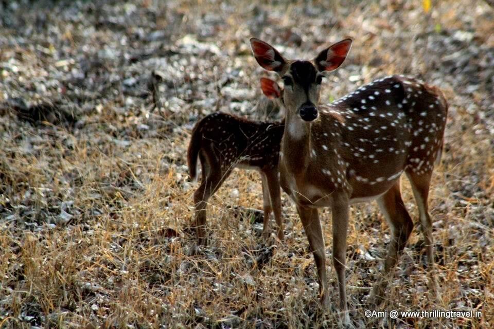 Deer at Kabini