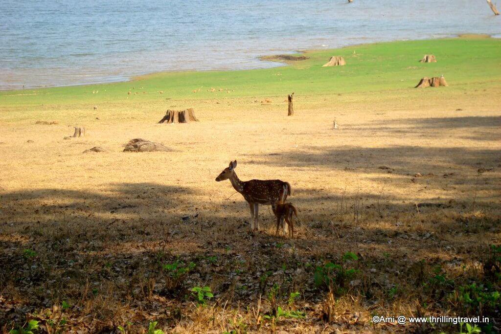 Deers at Kabini