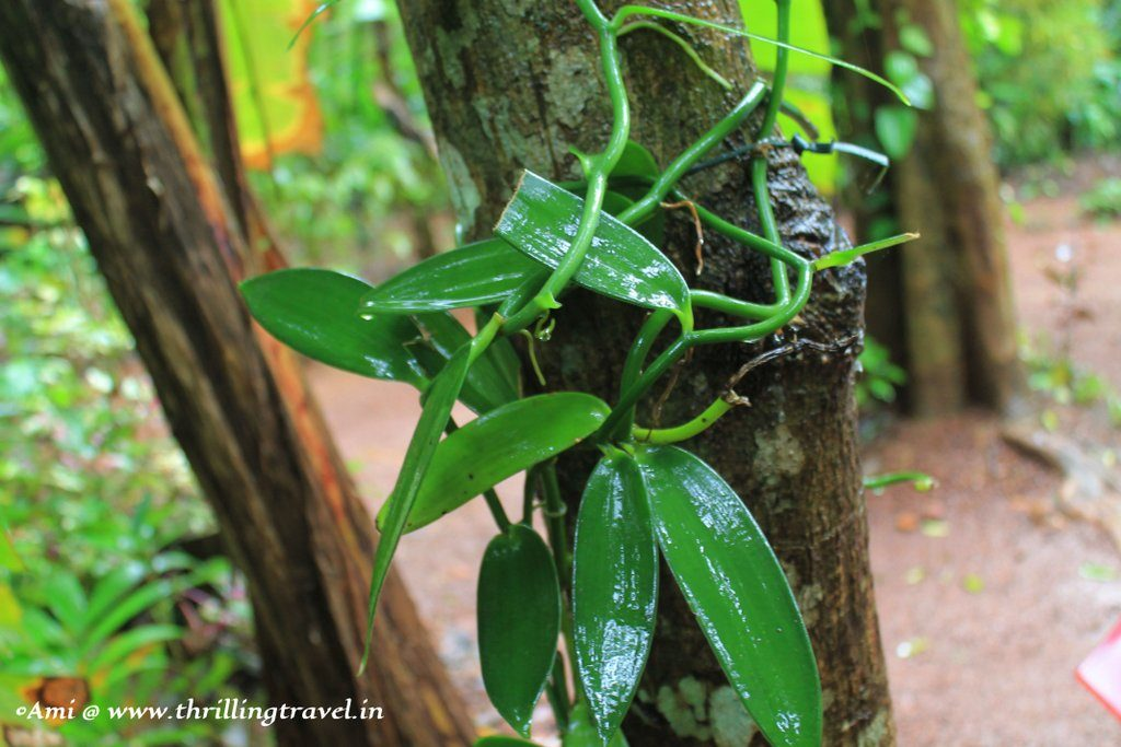 Vanilla plant growing up a tree at the Tropical Spice plantation, Goa