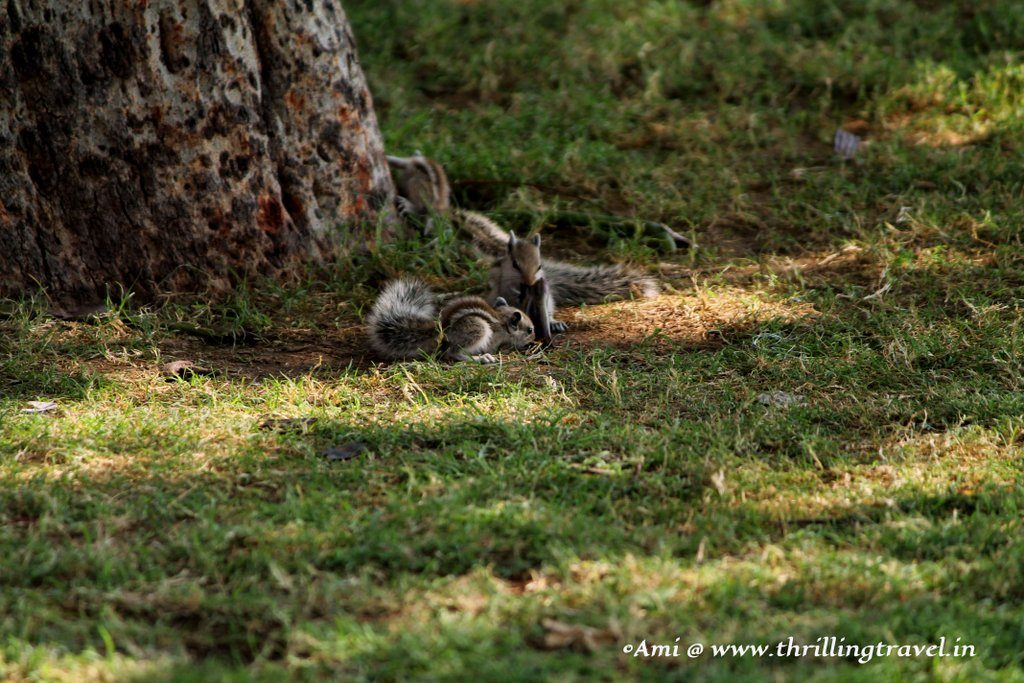 Playful Squirrels at Jaswant Thada