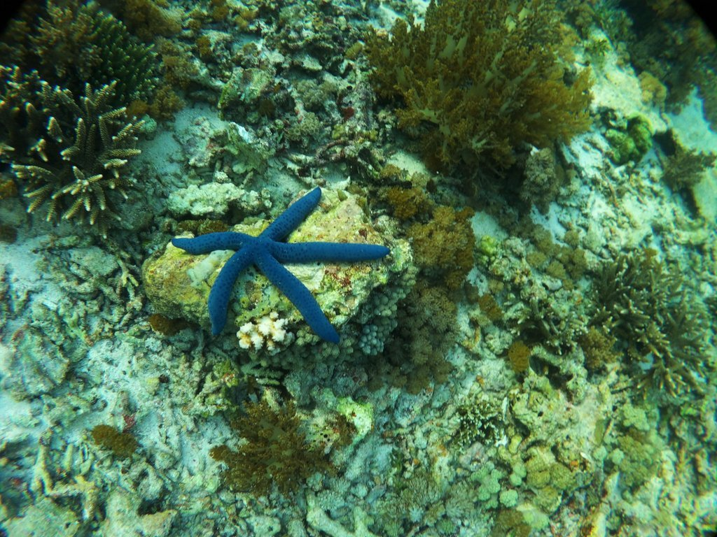 Blue Star fish that we spotted when snorkeling. Picture credits: My blogger friend - Lucie