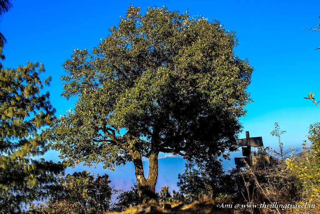 The Lone Oak and the Himalayas beyond at Jabarkhet Nature Reserves, Landour