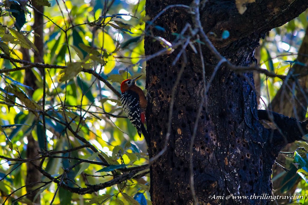 Woodpecker spotted in Jabarkhet Nature Reserves, Landour