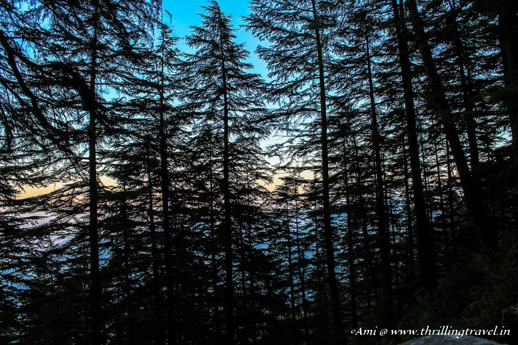 Another view of the firs at Landour. Catch the changing colors of sky in the background