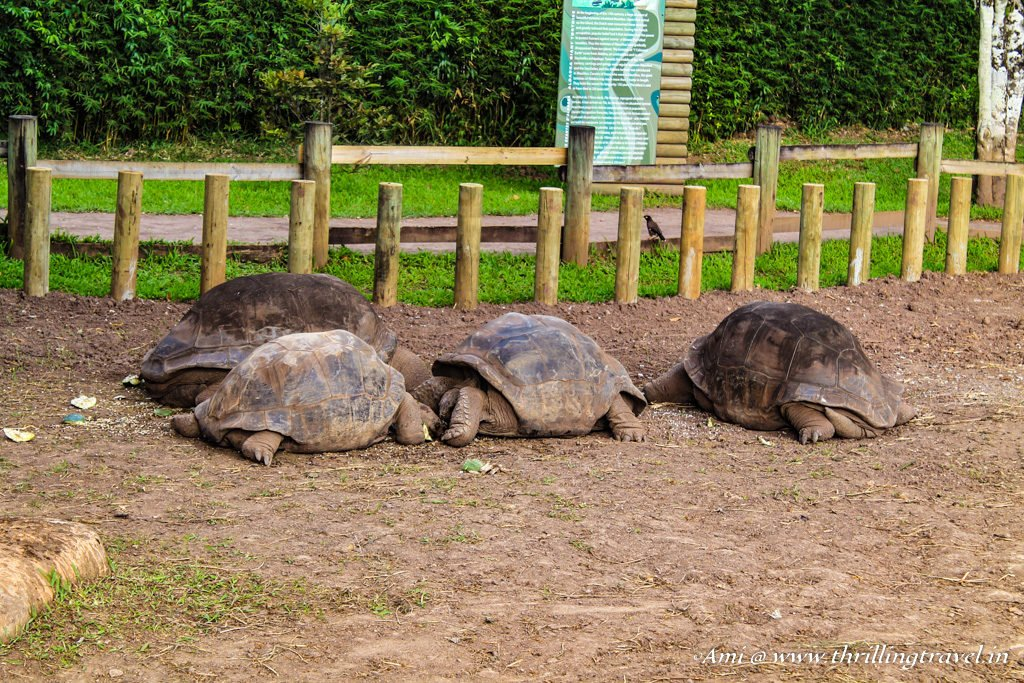 The Giant Tortoises at Chamarel