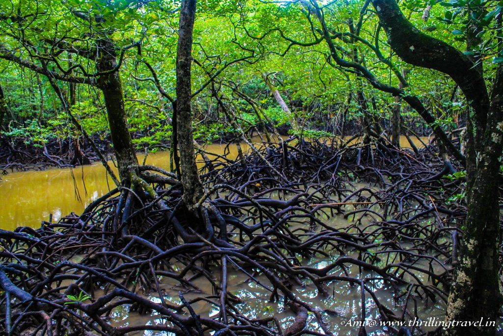 The breathing roots of the Mangrove trees at Baratang Island, Andamans