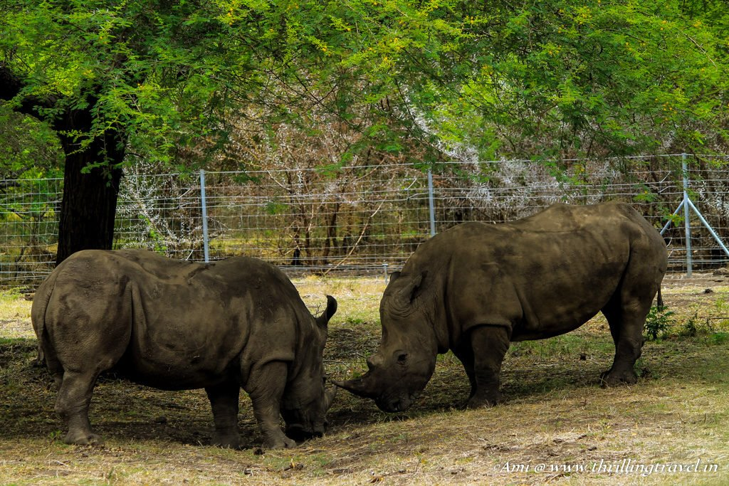 Rhinos locking horns at Casela Park, Mauritius