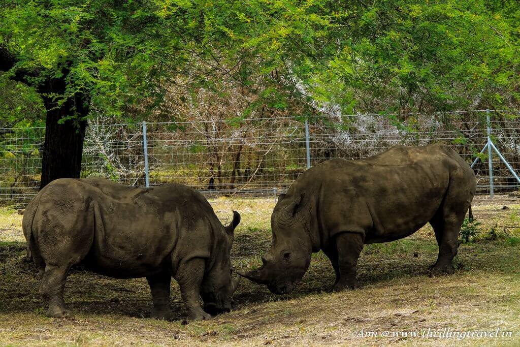 Rhinos locking horns at Casela Park, Mauritius