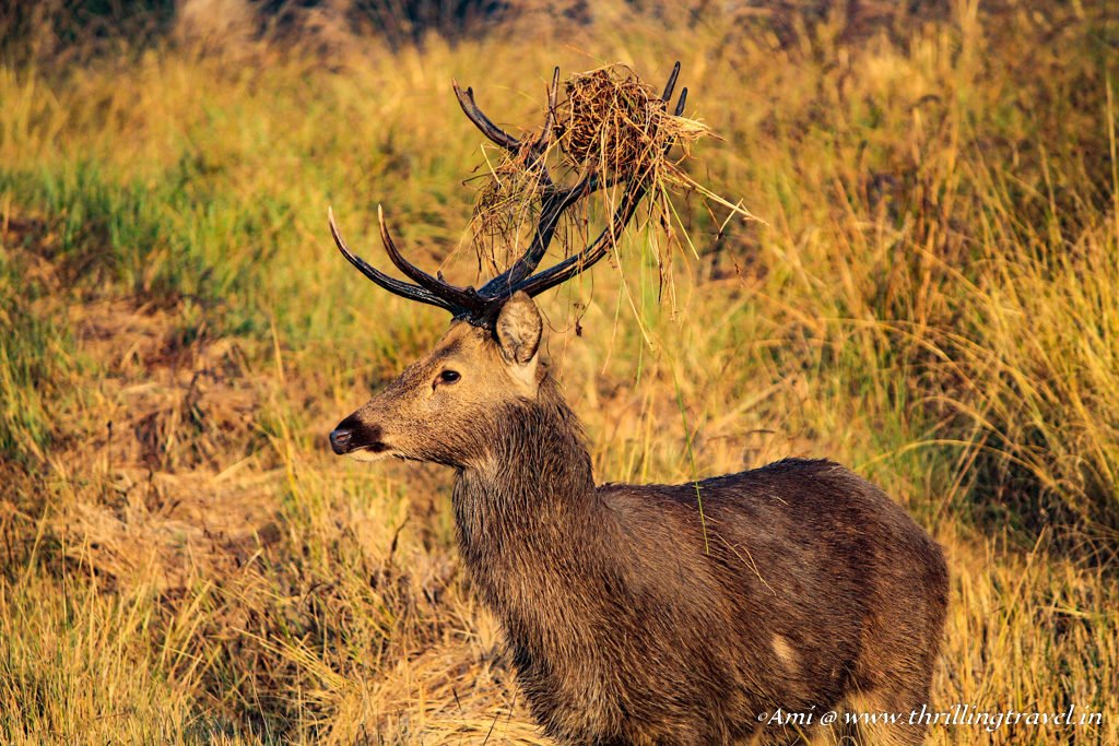 Barasingha or Swamp Deer at Kanha National Park