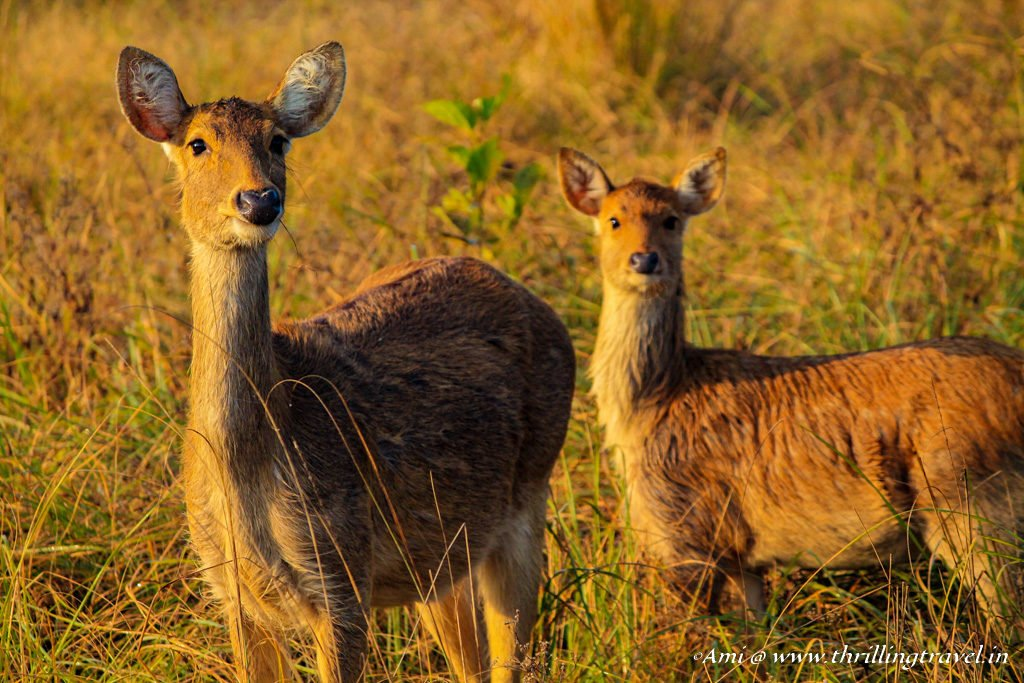 Female Barasingha at Kanha National Park