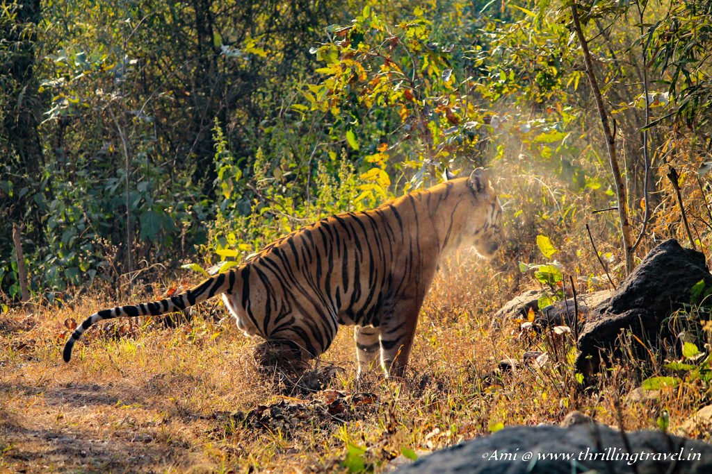 Bajrang going about his business at Kanha National Park
