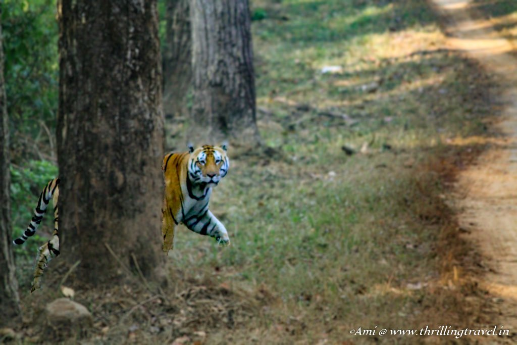 Bajrang making his appearance at Kanha National Park