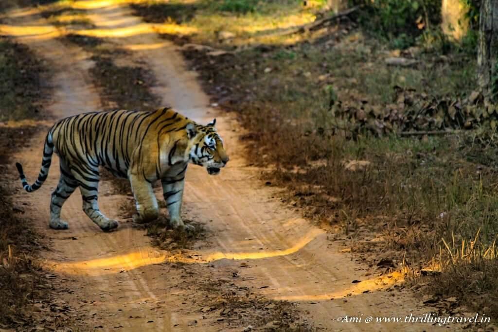 Bajrang strolling around in Kanha National Park