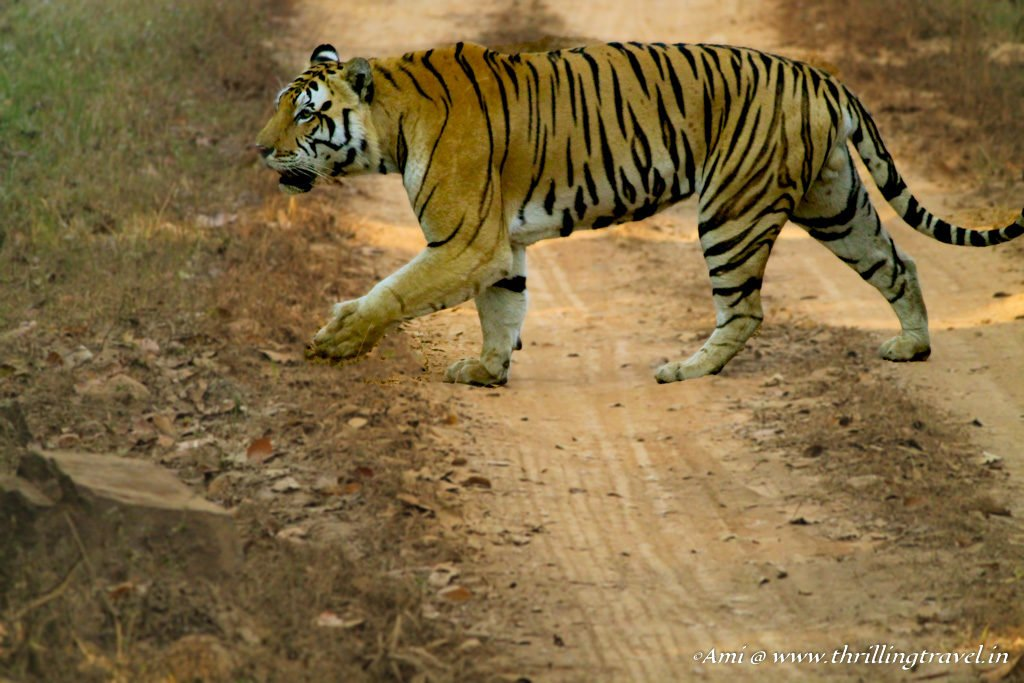 Tigers of Kanha National Park