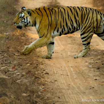 Tiger Tales from Kanha National Park, Madhya Pradesh