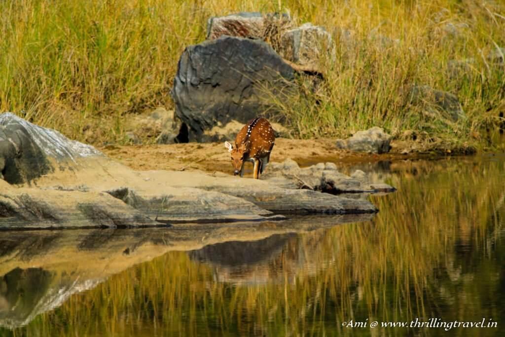 Deer having a sip at one of the many waterholes in Kanha National Park