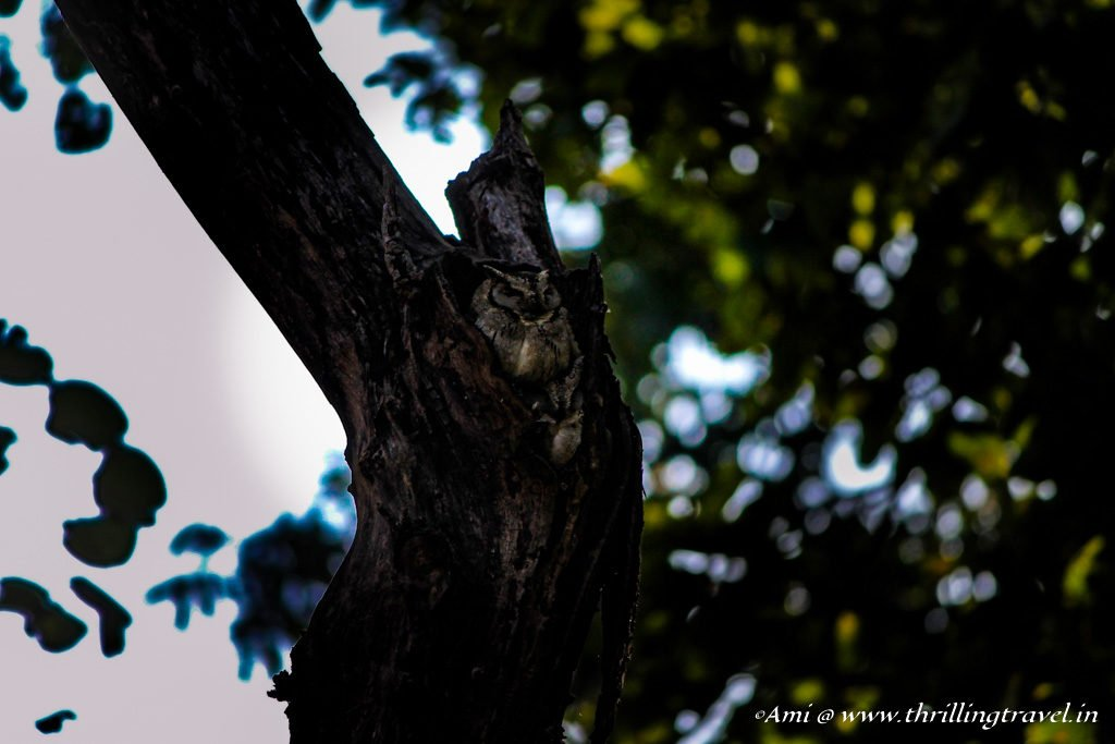 Owl in hiding at Kanha National Park