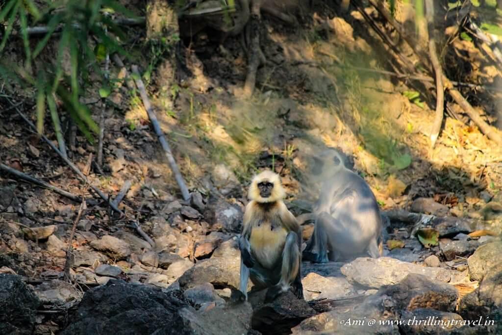 Langurs at Kanha National Park
