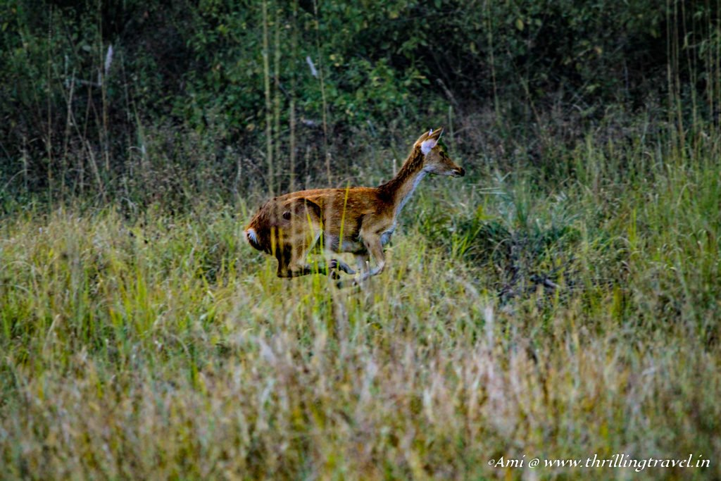 Spotted deer in action at Kanha National Park