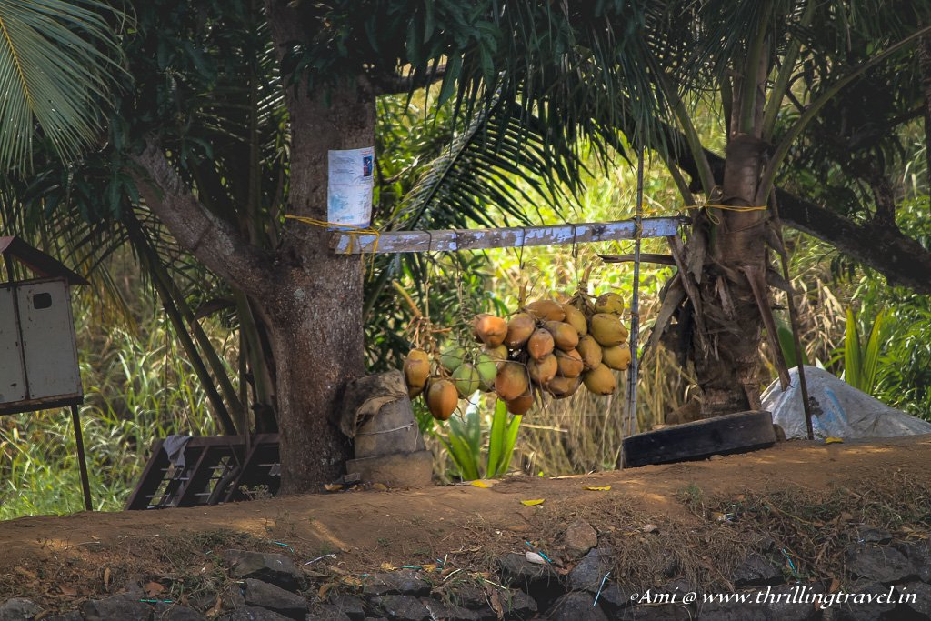 Coconuts on sale along the backwaters of Kerala