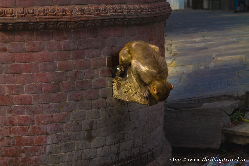 Monkey quenching his thirst at the Swayambhunath temple