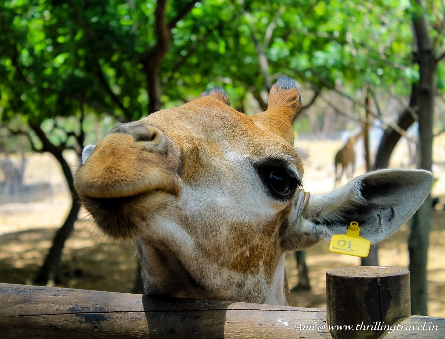 Giraffe Feeding at Casela Nature Park