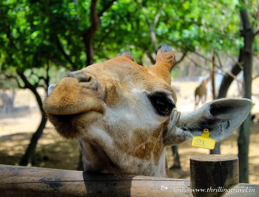 Giraffe Feeding at Casela Nature Park