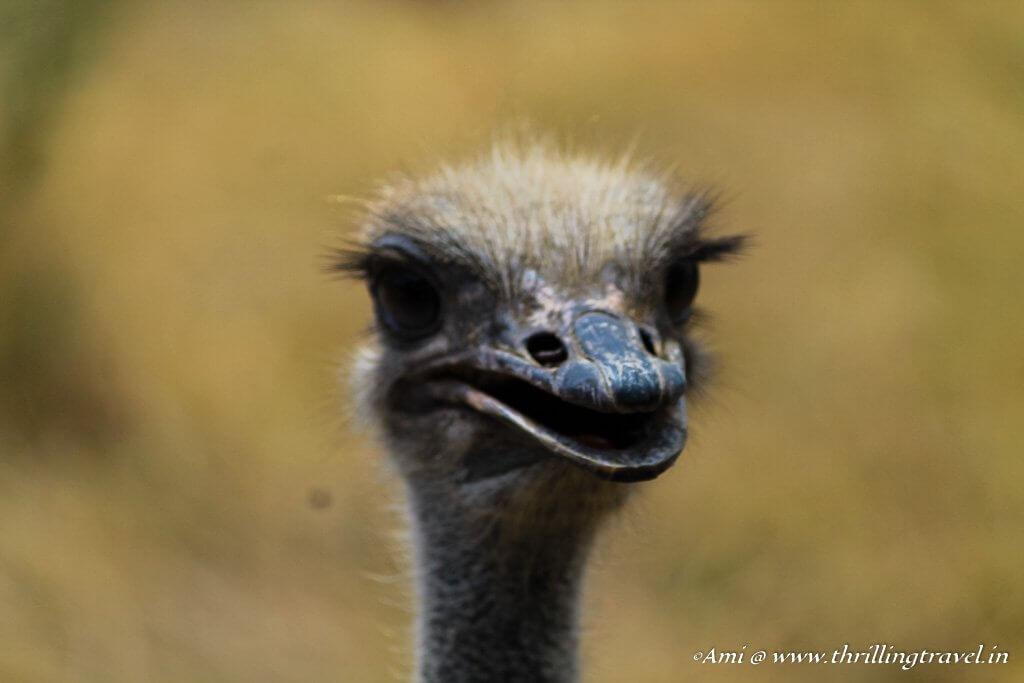 Ostrich at Casela Nature Park