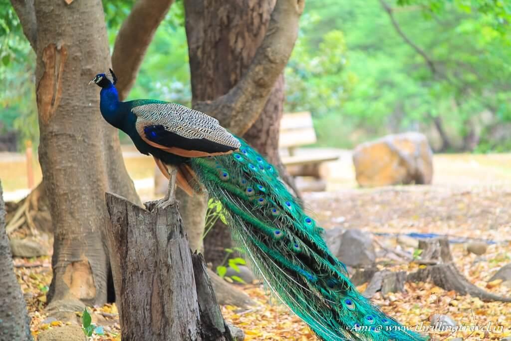 Peacocks of Casela Nature Park