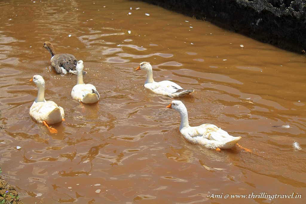 The ducks at the nature parks of Mauritius