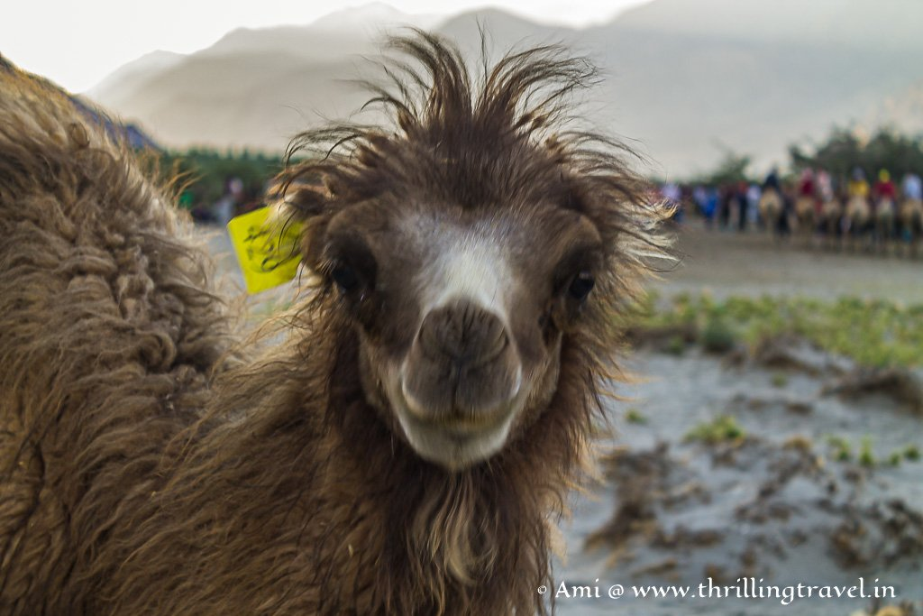 Bactrian camels are native to Nubra Valley in Ladakh