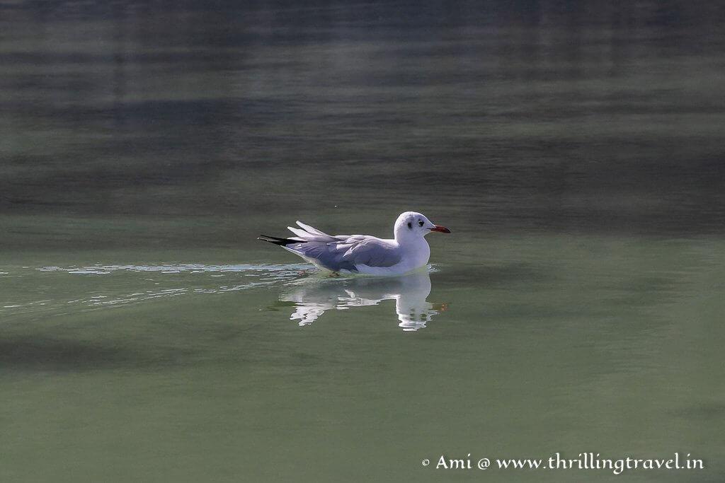 Brown headed gull at Pangong Lake Ladakh