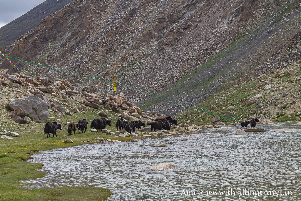 Yaks crossing across the stream at the Tsolding Buddha Park