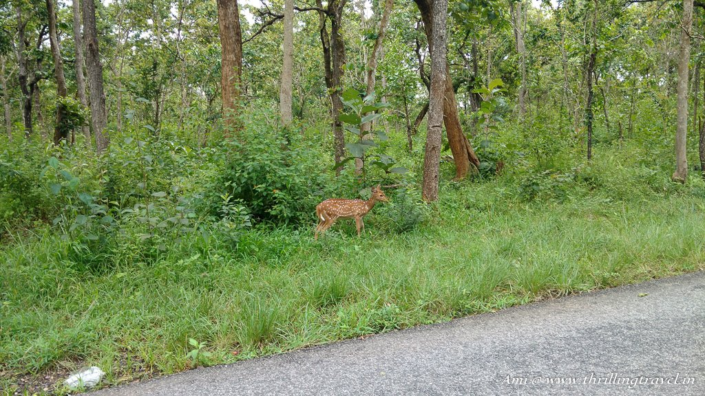 The little Bambi we found in Bandipur Forest