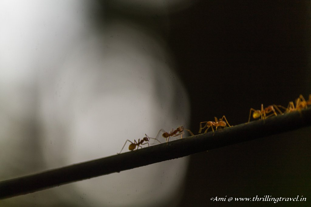 Ants galore